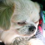 犬のがんの治療方法!放射線治療やステロイドに副作用は?漢方薬は効果あり?